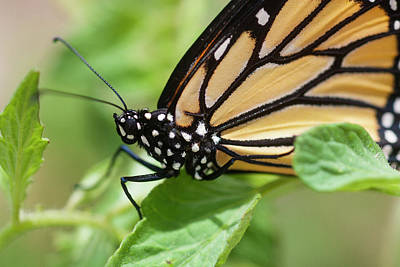 Photograph - Monarch Butterfly by Rich Franco