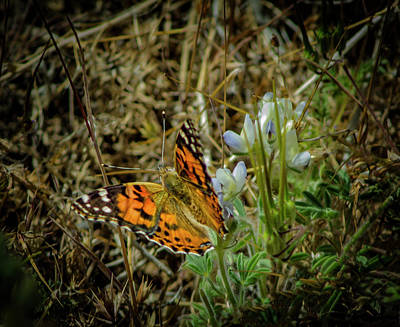 Photograph - Monarch Butterfly by Rick Mosher