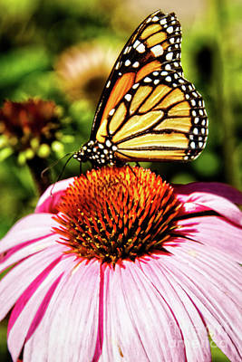 Monarch Butterfly Art Print by Robert Bales