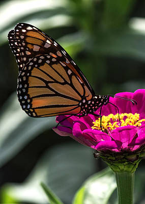 Photograph - Monarch Butterfly by Ron Grafe