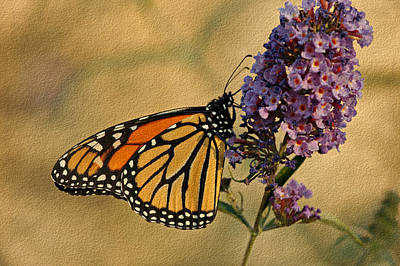Monarch Butterfly Art Print by Sandy Keeton
