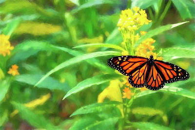 Photograph - Monarch Butterfly Sipping Milkweed Nectar  by Kay Brewer