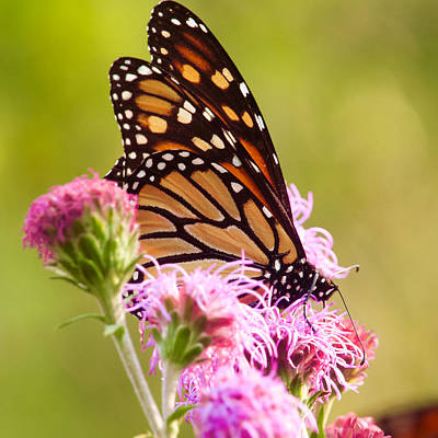 Photograph - Monarch Butterfly Square by Heidi Hermes