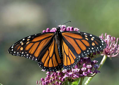 Photograph - Monarch Butterfly by Stephen Flint