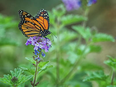 Photograph - Monarch Butterfly by Tam Ryan