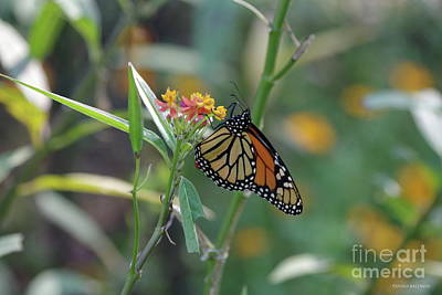 Photograph - Monarch Butterfly by Tannis Baldwin