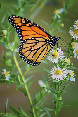 Monarch Butterfly - Wild Aster Art Print by Nikolyn McDonald
