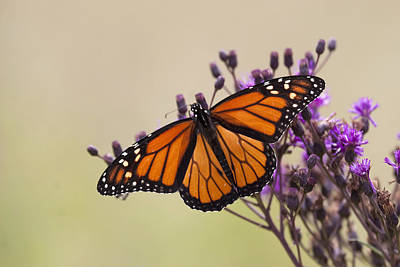 Monarch Butterfly Wings Open Art Print