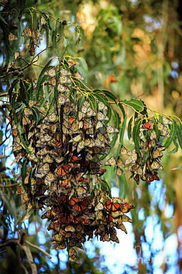 Photograph - Monarch Butterlies Migration II by Craig J Satterlee
