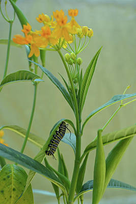 Photograph - Monarch Caterpillar On Milkweed by Aimee L Maher ALM GALLERY
