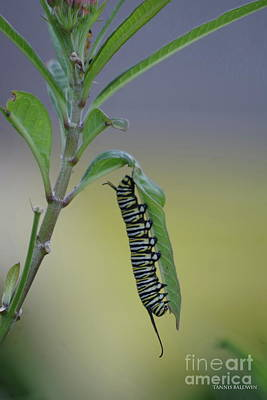 Photograph - Monarch Caterpillar Feeding by Tannis Baldwin