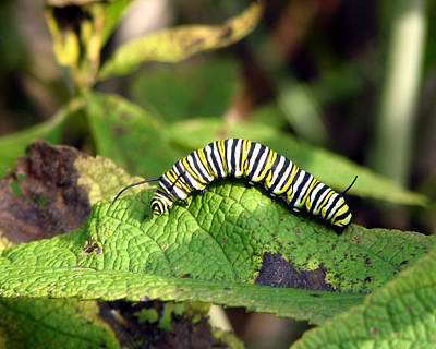 Photograph - Monarch Caterpillar by George Jones