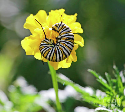 Photograph - Monarch Caterpillar In Marigold Portrait by Luana K Perez