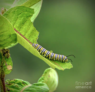 Photograph - Monarch Caterpillar - Living On The Leaves  by Kerri Farley