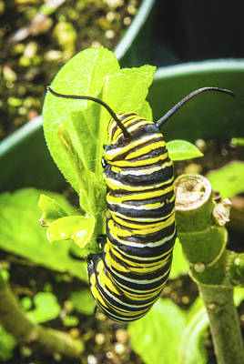 Photograph - Monarch Caterpillar Of Bermuda by Jeff at JSJ Photography