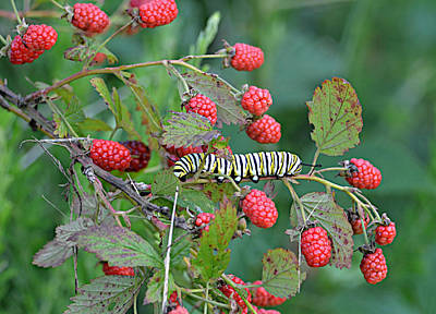 Ally Photograph - Monarch Caterpillar On Blackberries by Ally  White