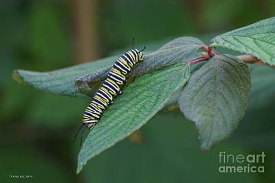 Photograph - Monarch Caterpillar by Tannis Baldwin