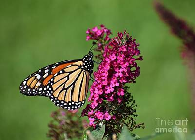 Photograph - Monarch by Christina Verdgeline