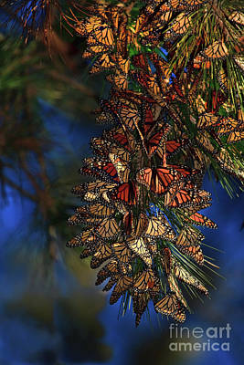Photograph - Monarch Cluster by Beth Sargent