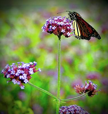 Photograph - Monarch by Cornelia DeDona