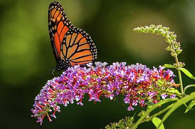 Photograph - Monarch by Craig Szymanski