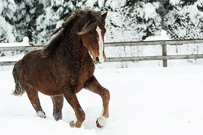 Galop Photograph - Monarch Curly Playing In Snow by Eric Chamberland