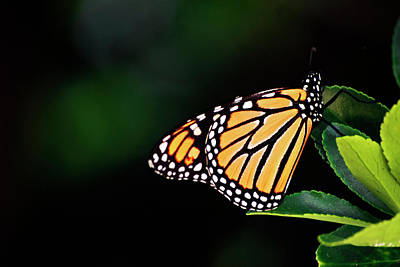 Photograph - Monarch Delight by Elsa Marie Santoro