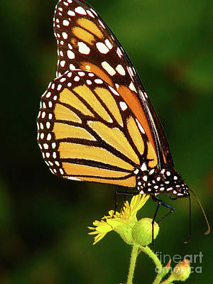 Photograph - Monarch Dreams by Laura Brightwood