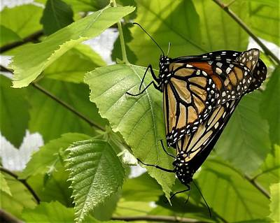 Photograph - Monarch Duo by Amanda Balough