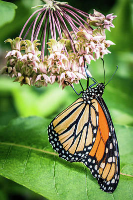 Photograph - Monarch Eating Nectar Of Milkweed Flowers by Jeanette Fellows