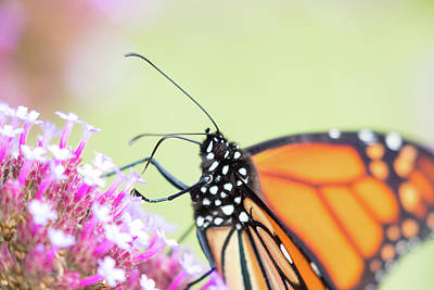 Photograph - Monarch Feeding by Brian Hale