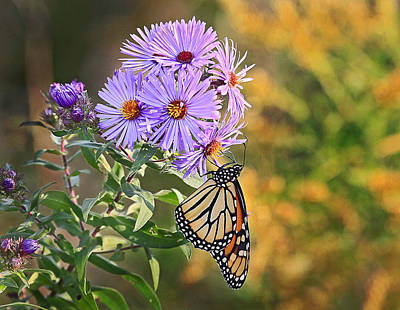 Photograph - Monarch Feeding by James Steele