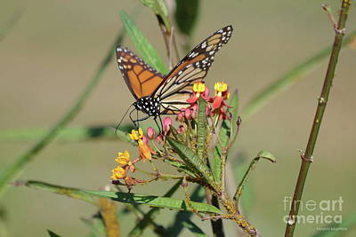 Photograph - Monarch Feeding by Tannis Baldwin