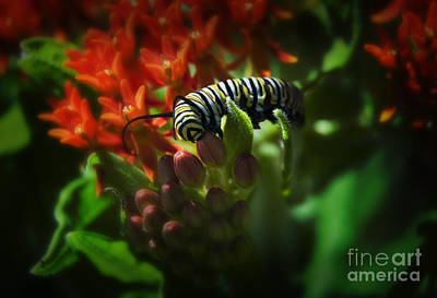 Monarch Art Print by Fred Lassmann