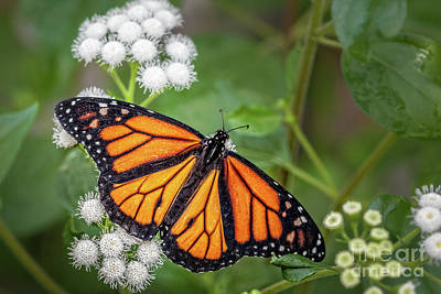 Photograph - Monarch by Gene Healy