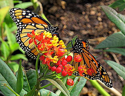 Photograph - Monarch Handshake by Suzy Piatt