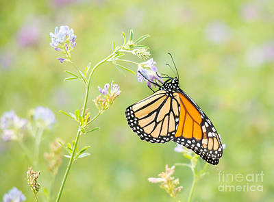 Photograph - Monarch In A Hay Field by Cheryl Baxter