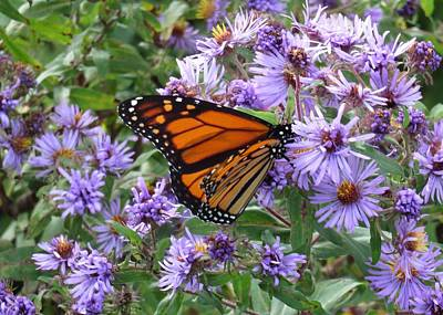 Photograph - Monarch In Aster by Lucinda VanVleck