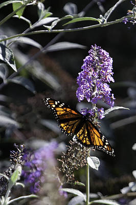 Monarch In Backlighting Art Print by Rob Travis