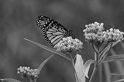 Photograph - Monarch In Black And White by Sandy Keeton
