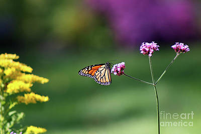 Photograph - Monarch In Fall Garden 2011 by Karen Adams