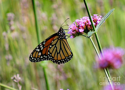 Photograph - Monarch In Ohio Meadow by Karen Adams