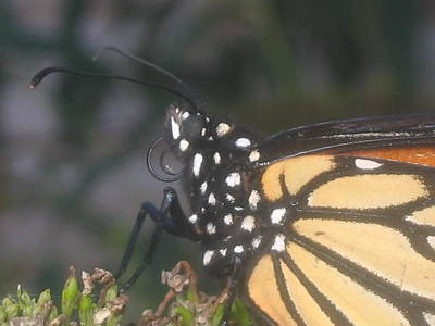 Photograph - Monarch In Profile by Iris Newman