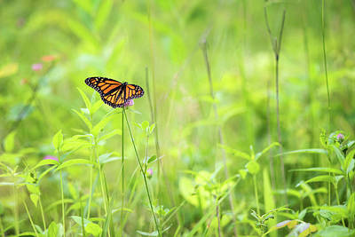 Photograph - Monarch In Spring by Linda Shannon Morgan
