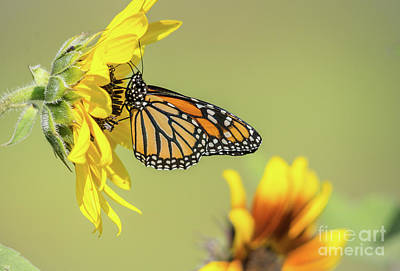 Photograph - Monarch In Sunflowers by Cheryl Baxter