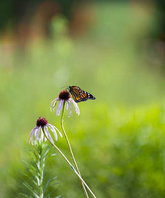 Photograph - Monarch In The Field by Lisa Moore
