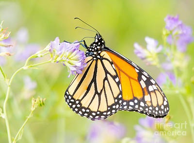 Photograph - Monarch In The Flowers by Cheryl Baxter