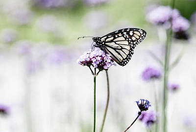 Photograph - Monarch In The Garden by Tracy Winter