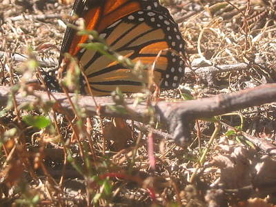 Photograph - Monarch In The Grass by Iris Newman