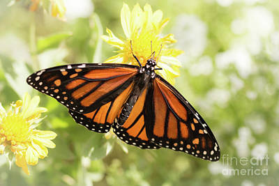Photograph - Monarch In The Light by Ana V Ramirez